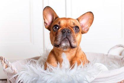 El Bulldog francés está ubicado en el puesto número cuatro para tenerlo como compañero en los hogares (Shutterstock)