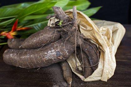 Imagen de referencia:  Chefs y agricultores están llevando vegetales de raíz tradicionales como batatas, malanga, ñame y yuca (en la imagen) a los menús de los restaurantes. Credit Érika P. Rodríguez para The New York Times