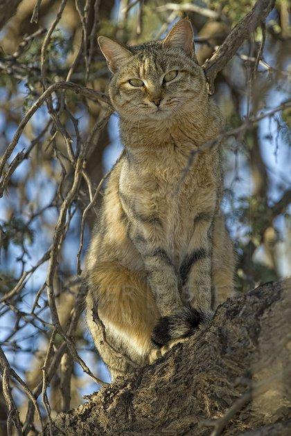 Estudios confirmaron que los gatos domésticos descienden del gato salvaje africano, también conocido como Felis silvestris lybica