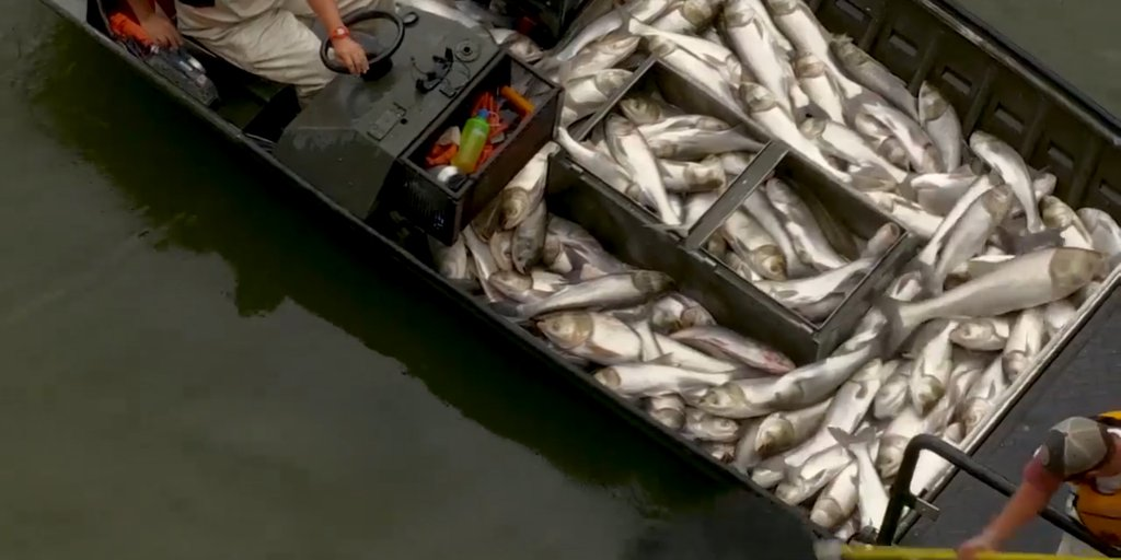 Electrocutaron a cientos de carpas asiáticas en un lago de EEUU por el  peligro que representaban - Infobae