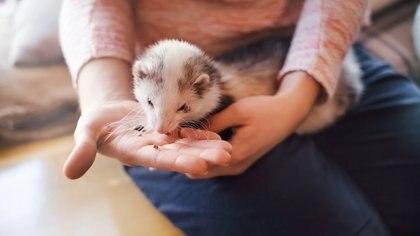 Los animales exóticos requieren cuidados especiales pero también son dóciles y cariñosos(Getty)
