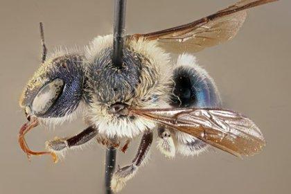 A simple vista no se pueden distinguir las abejas (Foto: Museo de Florida/Chase Kimmel)