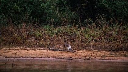 Un jaguar en el parque Encontro das Águas, donde más del 85% del territorio quedó en llamas