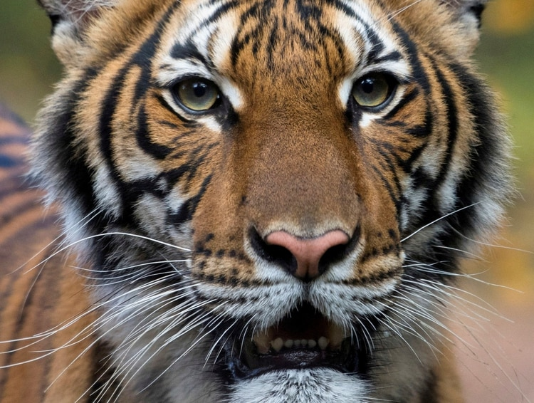 Nadia, la tigresa malasia de 4 años, que dio positivo por coronavirus. (WCSvia REUTER)
