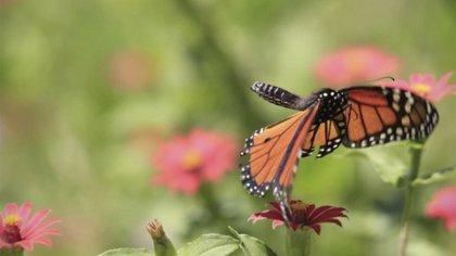 La migración de las mariposas Monarca ayuda a la polinización de diversas especies de plantas (Foto: CONANP)
