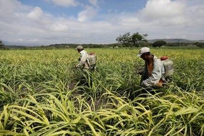 Por su alto contenido de nitrógeno el nitrato de sodio suele ser utilizado como fertilizante (REUTERS/Edgard Garrido)