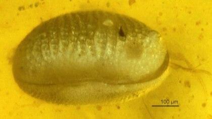 Los espermatozoides hallados tendrían 100 millones de años y son los más antiguos encontrados hasta ahora (AFP)