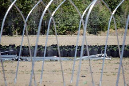 Se pueden ver bolsas de cáñamo a través de estructuras metálicas que se utilizarán para casas de aros en uno de los muchos sitios de cáñamo en Shiprock. Foto Ravonelle Yazzie/Navajo Times.
