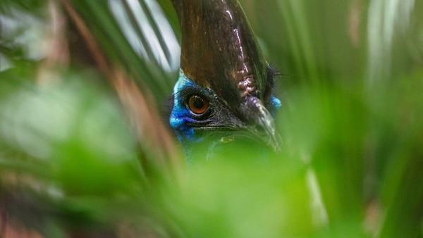 Un casuarius, en el noreste de Queensland, Australia, en 2012. La imagen fue conseguida por la lente del fotógrafo Christian Ziegler (National Geographic)