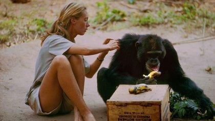 Goodall bautizó a cada uno de los chimpancés a los que observó durante años intermitentes con nombres muy divertidos: David Greybeard, Goliat, Sr. Worcel, Flo, Olly y Melissa. Flo fue el chimpancé con el que Goodall trazó una relación realmente especial (National Geographic)