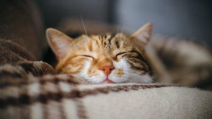 Los gatos tienen fama de ser animales de carácter complicado y poco cariñosos. Sin embargo, esta característica depende de la raza, la crianza y los cuidados dados por los seres humanos