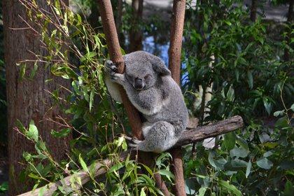 Más de mil millones de animales fueron afectados en enero por devastadores incendios en Australia (Shutterstock)