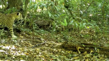 Pac-man el jaguar (Foto: Captura de pantalla)