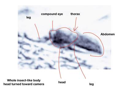 Romoser señaló partes del cuerpo de un insecto como cabeza, tórax, abdomen y patas (Foto: Universidad de Ohio)