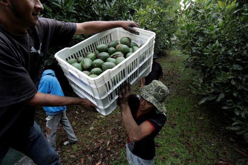 Agricultores cargan cajas de aguacates recién cosechados en un camión, en una plantación en Tacambaro, estado de Michoacán, México (Foto: REUTERS/Alan Ortega)