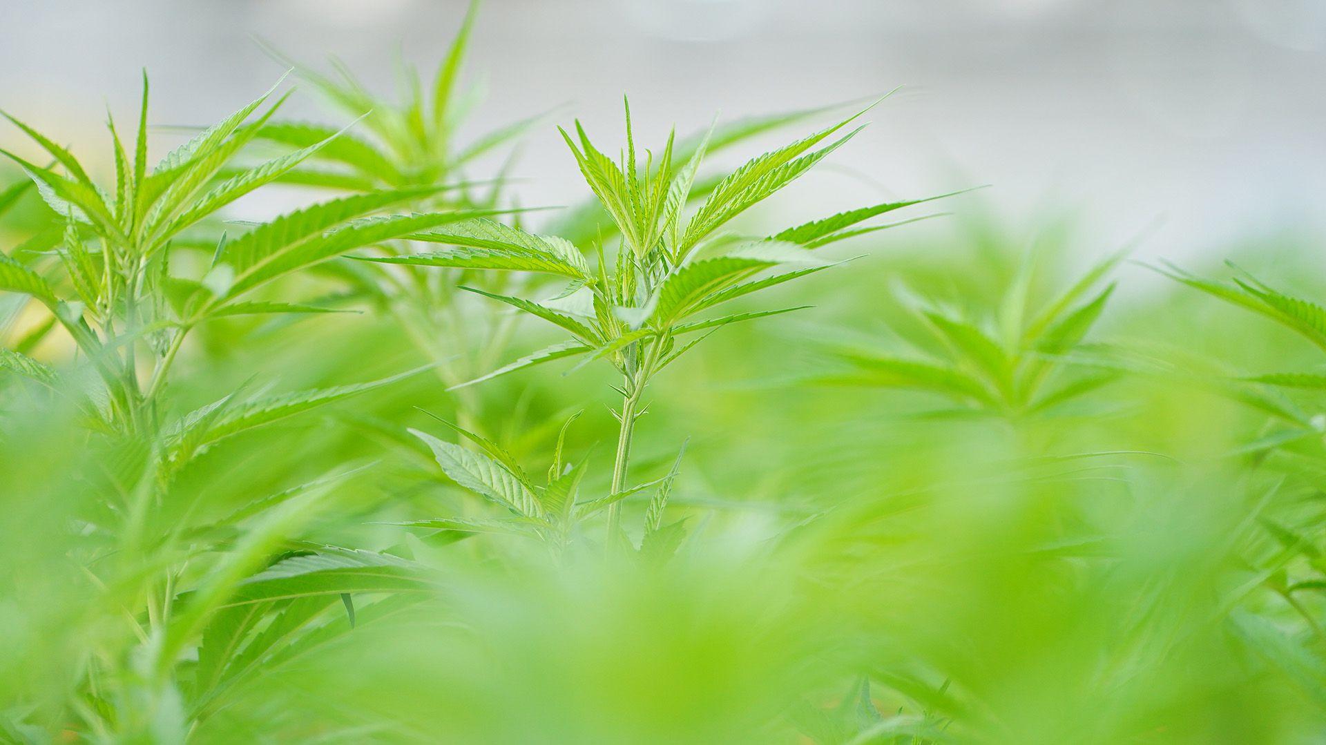 Cannava - Laboratorio y plantación Marihuana Cannabis Medicinal - Jujuy