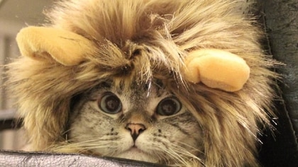 Nala Cat tiene 4 millones de seguidores en Instagram (Foto: Instagram @nala_cat)