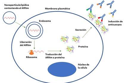 El funcionamiento del ARN mensajero frente a la COVID-19