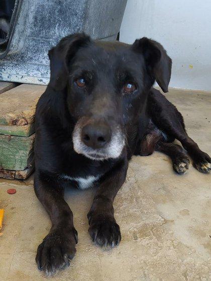 Morris  Macho adulto, tiene 8 años, tamaño chico. Con movilidad reducida por accidente de larga data. Es muy tranquilo y se lleva bien con otros perros Castrado, vacunado y desparasitado.