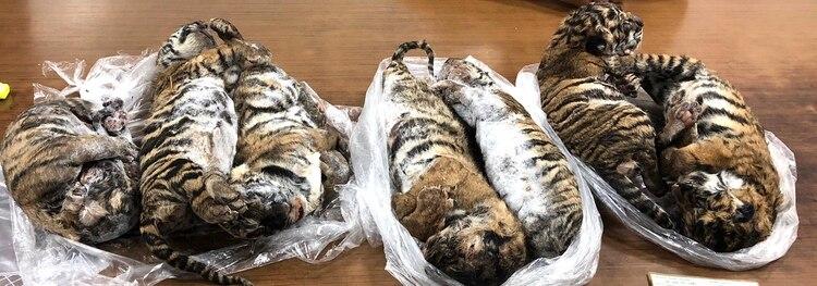 La medicina tradicional vietnamita y la industria de la joyería utilizan algunas partes del tigre, cuya población disminuyó enormemente en ese país. (Photo by Nam GIANG / AFP)