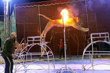 Los animales salvajes son un espectáculo clásico en los circos (EFE/EPA/KHALED ELFIQI/Archivo)