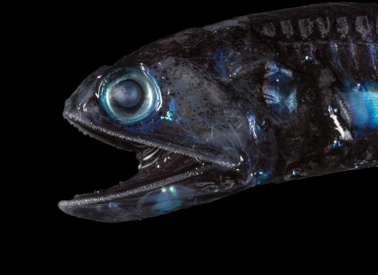 El pez linterna convierte sus ojos en lentes gigantescos para poder moverse en la oscuridad de las profundidades oceánicas. (Paul Caiger/Woods Hole Oceanographic Institution)
