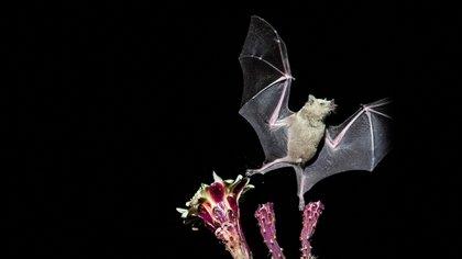 El murciélago es señalado como uno de los animales responsables de haber tenido que ver en la aparición de la enfermedad COVID-19 (EFE)