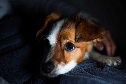 Por la mayor cantidad de bastones y por una membrana que tienen en su globo ocular, los perros ven en la oscuridad hasta cinco veces más que los humanos (Shutterstock)