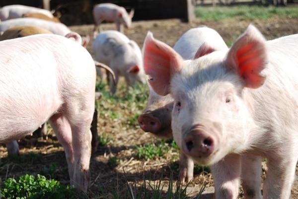 En el 2018, el foco estará puesto en abrir más mercados para la carne porcina. Actualmente hay ocho.