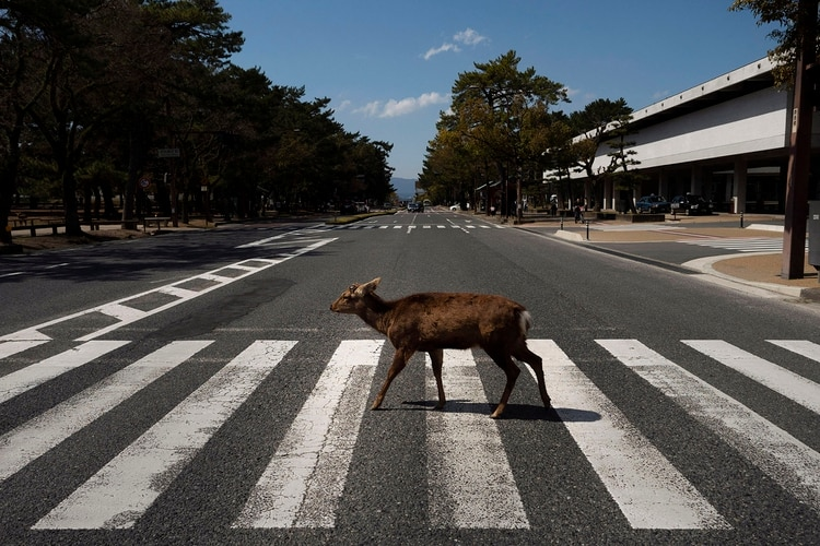 Las calles de Nara Japón se vieron inundadas de especies de ciervos que aprovecharon la ausencia de humanos para deambular por la ciudad (AP Photo/Jae C. Hong)