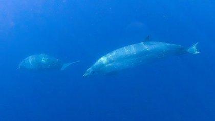 Nueva especie de ballena fue descubierta en Ensenada (Foto: Twitter@ernesto_mendez)