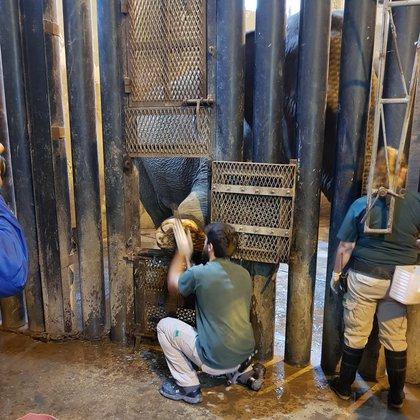 La pezuñas de los elefantes debe ser limadas cotidianamente para evitar enfermedades
