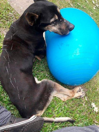 La acupuntura es una de las terapias que les practica a los perros gerontes la médica veterinaria Alicia Barreto.