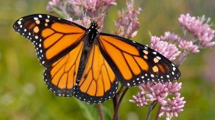 No se sabe por qué disminuyó tanto el número de mariposas en California (IStock)