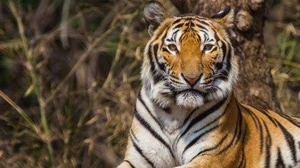 Los tigres Amur o siberianos habitaban hace menos de una década territorios kazajos (iStock)
