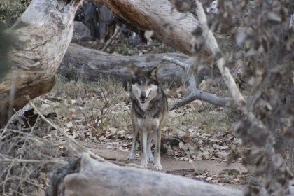 El zoológico es uno de los otros que se han asociado con el Servicio de Pesca y Vida Silvestre de los Estados Unidos durante décadas en los esfuerzos de cría y recuperación del lobo gris mexicano. (Foto: ABQ BioPark via AP)