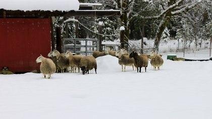 Imagen de la granja de Hellen Szewc durante el crudo invierno de Oregon (Facebook)