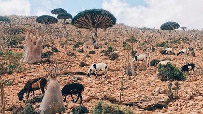Socotra, teritorio de disputas y una flora y fauna única
