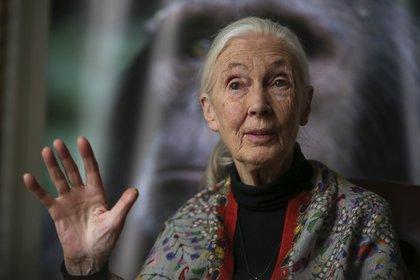 La experta en primates y convervacionista inglesa Jane Goodall visitó por quinta vez la Argentina. Dialogó sobre su historia y proyectos a solas con Infobae. (Agustín Marcarián)