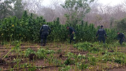En Mazatlán fueron ubicados dos plantíos  (Foto: SSP-Sinaloa)