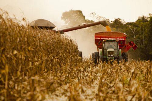 Hasta el momento se ha cosechado casi el 4% del área sembrada con maíz