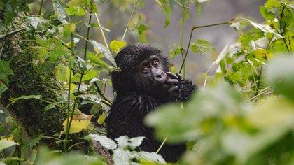 Los primates son una de las especies con mayor peligro de extinción (iStock)