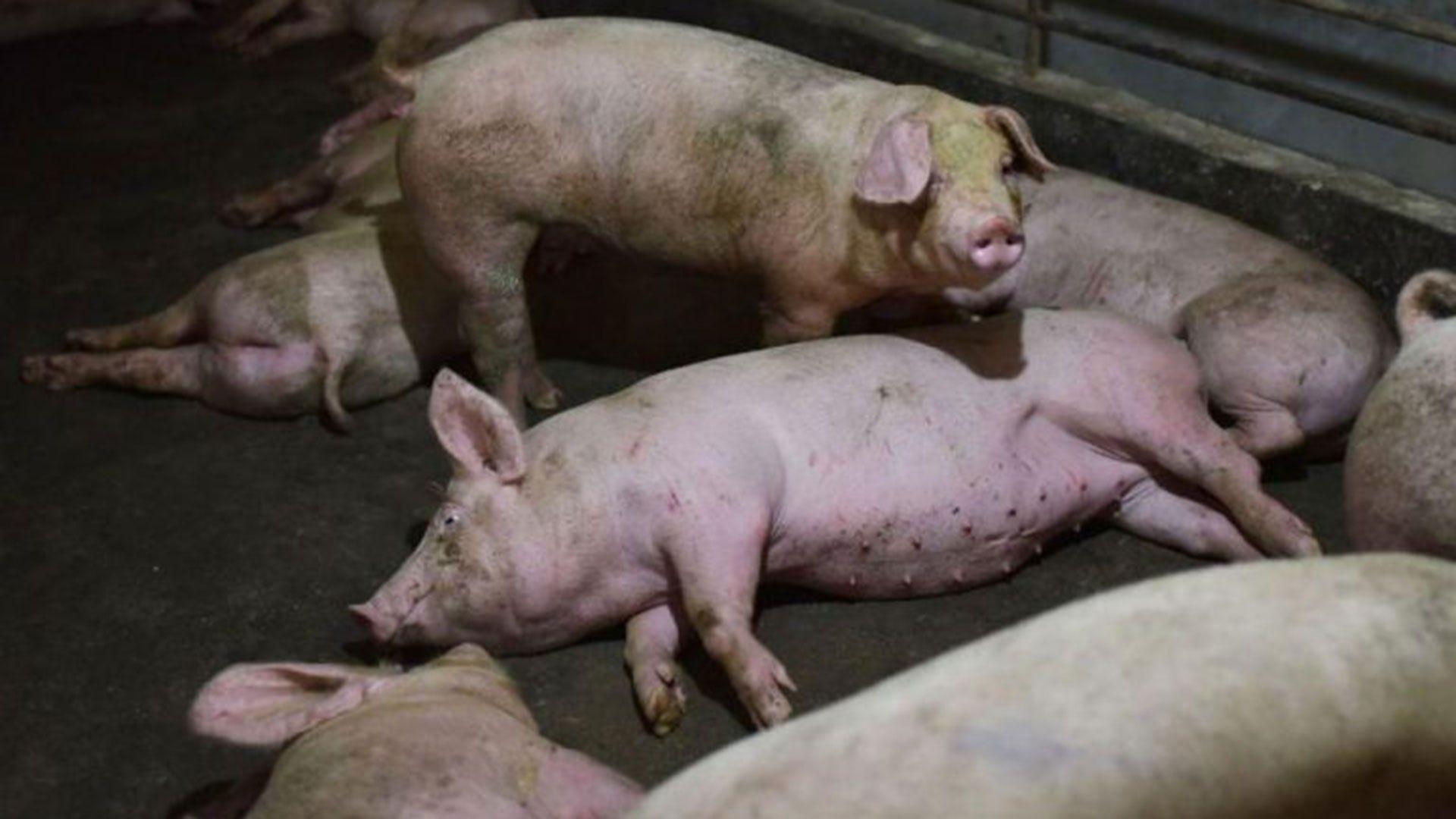 Se estima que la peste porcina africana podría obligar a sacrificar entre 150 y 200 millones de cerdos en el mundo (AFP)