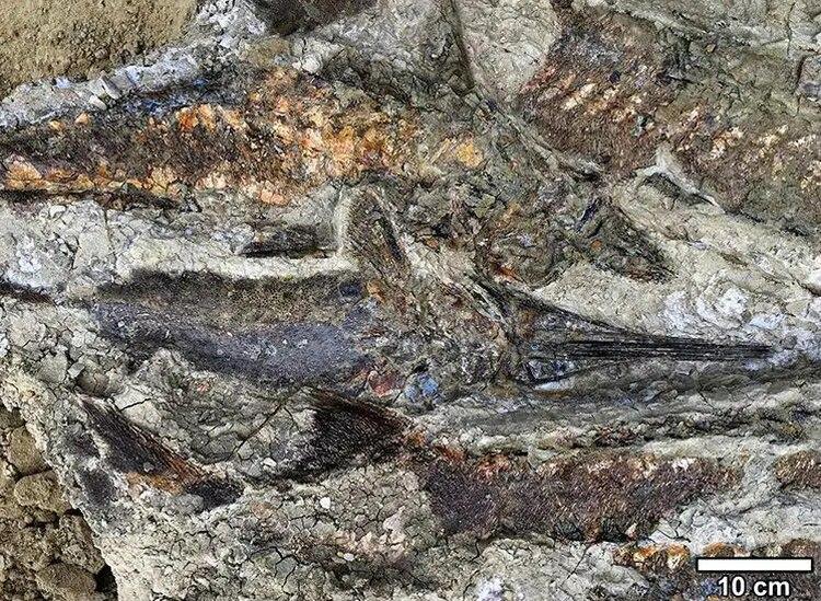 Los restos fósiles de peces que los investigadores hallaron en Dakota del Norte (Foto: Robert DePalma)