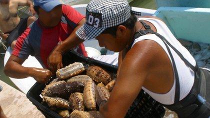 """Cómo el pepino de mar, el """"afrodisíaco del océano"""", se volvió más preciado que el oro para los traficantes de Asia"""