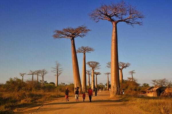 Durante mucho tiempo, los baobabs fueron utilizados paralelamente por los exploradores y viajeros para guiarse