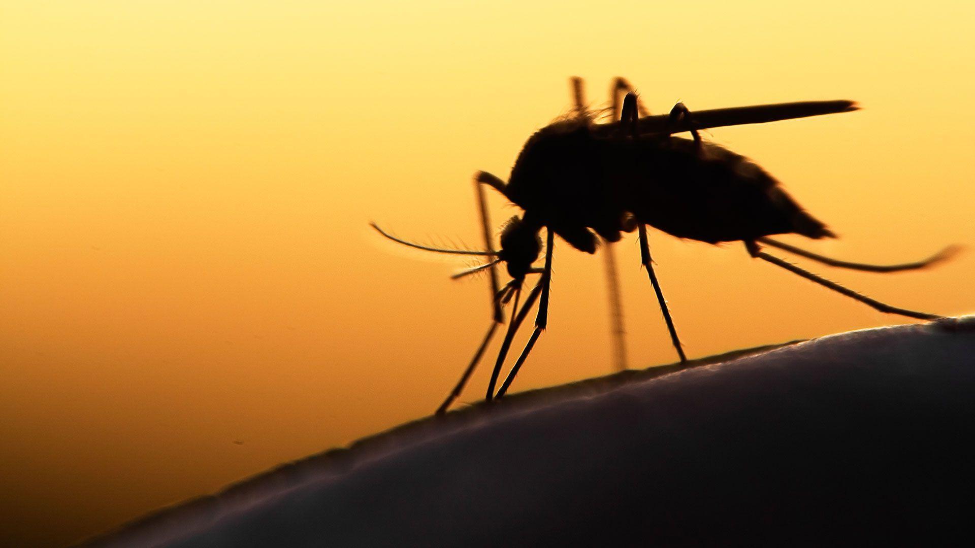 Las lluvias favorecen la aparición del insecto en esta época del año (Foto: Shutterstock)