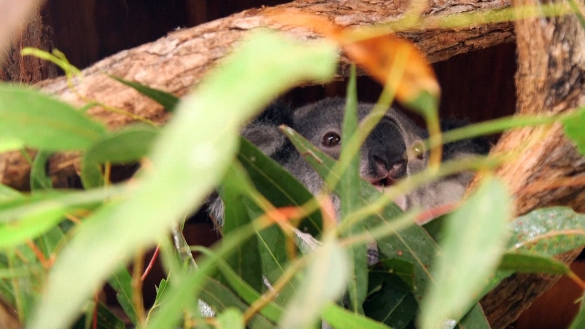 El genoma de koala muestra cómo vive el marsupial en las hojas de ...