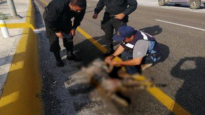 Un ejemplar fue atropellado en la carretera de Campeche (Foto: Twitter / rosaliliatorrs)