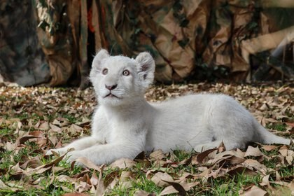 """La leona blanca llamada """"Nieve"""" que nació en el zoológico del Altiplano de Tlaxcala el pasado mes de octubre (FOTO: JOAQUÍN SANLUIS /CUARTOSCURO.COM)"""
